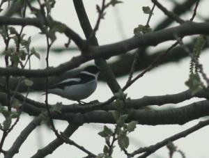 De vogel liet zich heel af en toe echt fraai bekijken. Voor de rest zat de vogel diep in het struikgewas