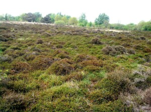Op veel plekken op de Merskenheide komen groene tapijten voor. Dan heeft men te maken met Kraaihei