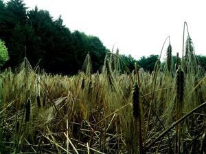 Een graanveld is één van de eerste dingen die je ziet aan het begin van een wandeling door het Bunderbos