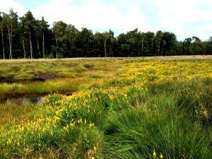Mosterdveen met een goudgele gloed van bloeiende Beenbreek (Foto: Delo Wolters)