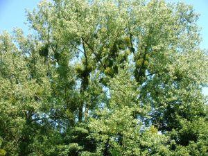 Maretak, Mistletoe, Heksenbezem, de typische plant is niet over het hoofd te zien