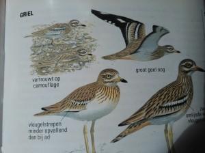 Griel, uit de ANWB-vogelgids