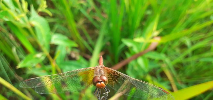 Leuke zelfontdekking in 'achtertuin': Geevlekheidelibel