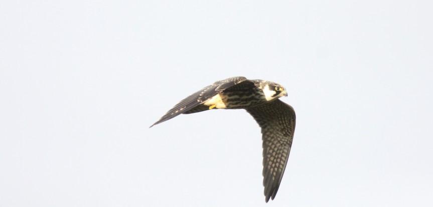 Dutch Birding najaarsweekendTexel